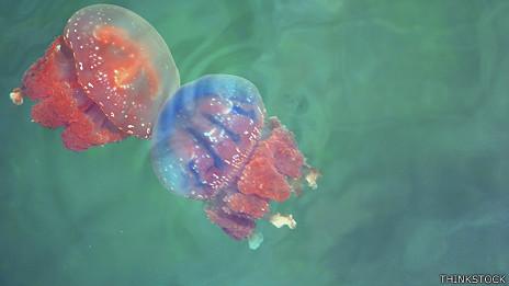 Aguamalas, medusas o aguavivas