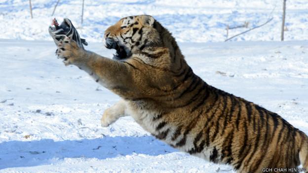 चीन बाघ