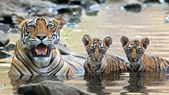 Tigre-de-bengala e filhotes na natureza. Andy Rouse/Rex Features