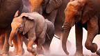 Elefantes corriendo