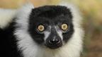 Lémur negro de ojos azules