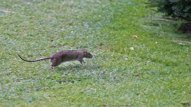 Rato corre em jardim do museu Louvre (foto: AP)