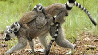 Lêmures (David Haring/Duke Lemur Center)