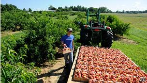 Персиковый сад в США