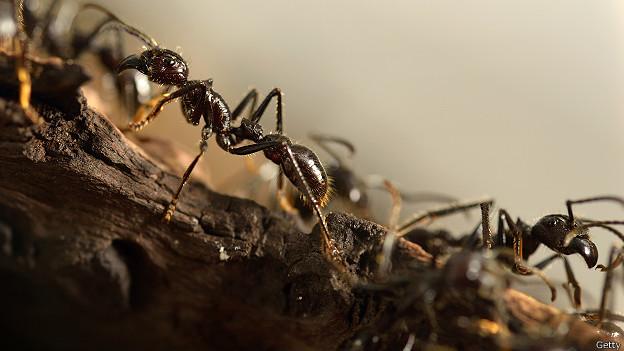 Гигантские муравьи