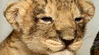 Filhote de leão (PA)