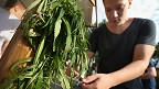 Joven retira las semillas a una planta de cannabis