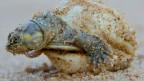 Tortuga recién nacida