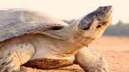 Tortuga gigante del Amazonas