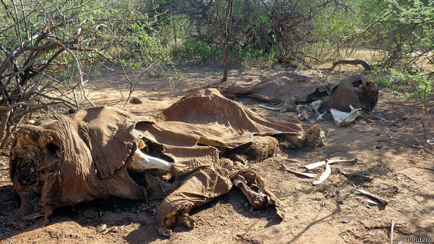 Останки убитого браконьерами слона