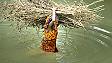 बाढ़ के पानी से होकर जलाने के लिए लकड़ी लेकर जाती एक महिला
