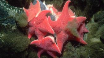 Estrellas de mar cojín