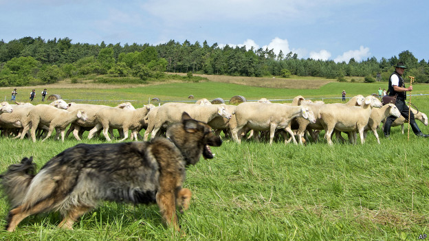 Федеральной породы собак назначение пастух для скота видео описание родителей учеников