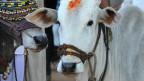 Vaca en Kerala (foto de archivo)