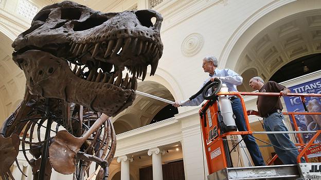 В Чикагском музее чистят скелет динозавра Сью