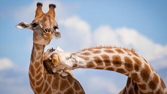 Girafas dando cabeçada (Prêmio ZSL de fotografia de animais)