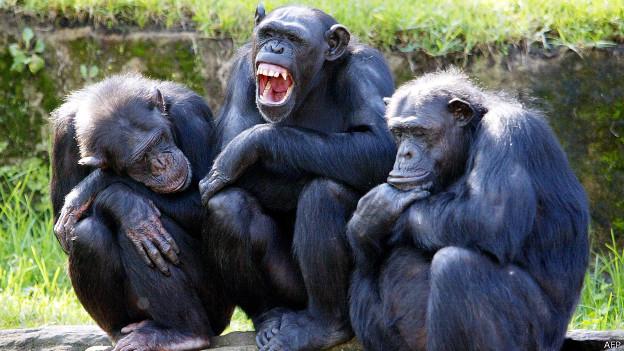 Matar é um ato natural para chimpanzés, diz estudo