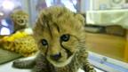 Filhotes de guepardo. Foto: reprodução de vídeo/Reuters