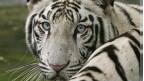 सेफद बाघ (फाइल फोटो)