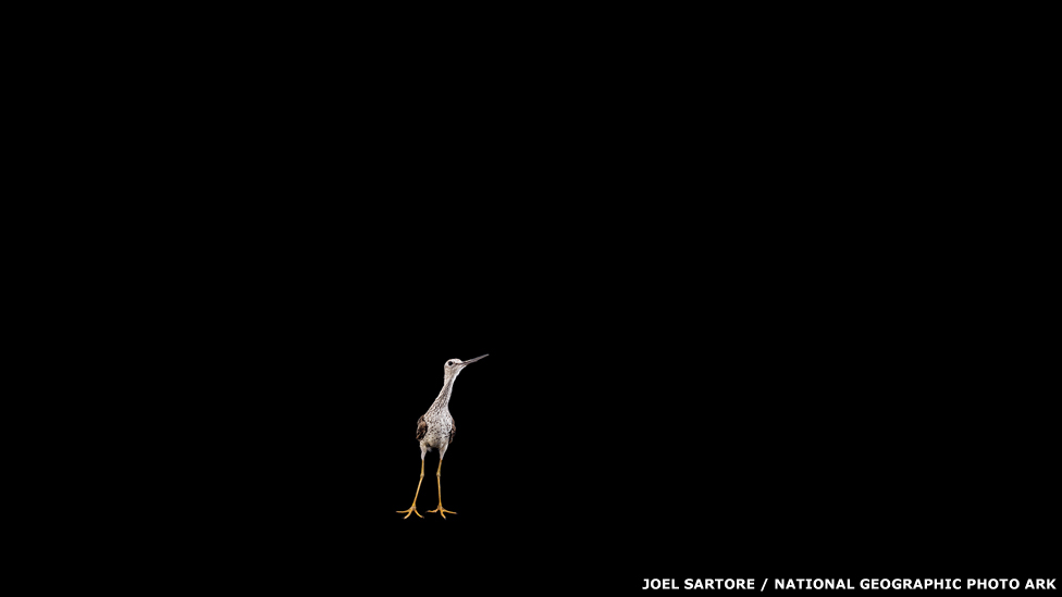 Chorlo mayor de patas amarillas - TULSA ZOO, OK Joel Sartore / National Geographic