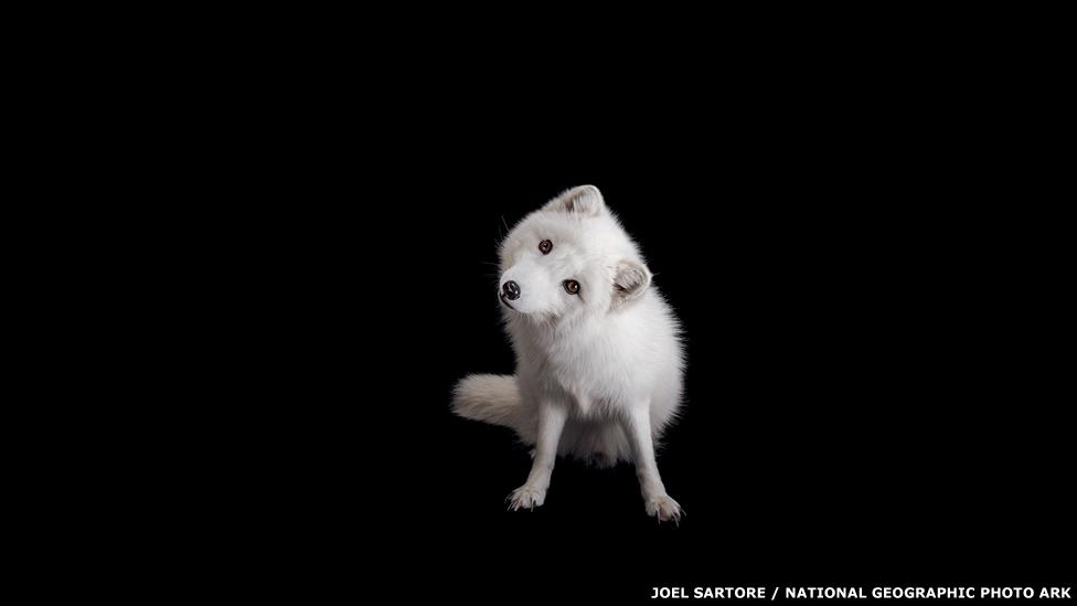 Zorro árticos - GREAT BEND BRIT SPAUGH ZOO, KANSAS Joel Sartore / National Geographic