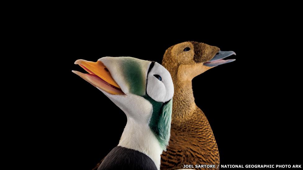 Eider de anteojos - ALASKA SEALIFE CENTER, SEWARD Joel Sartore / National Geographic
