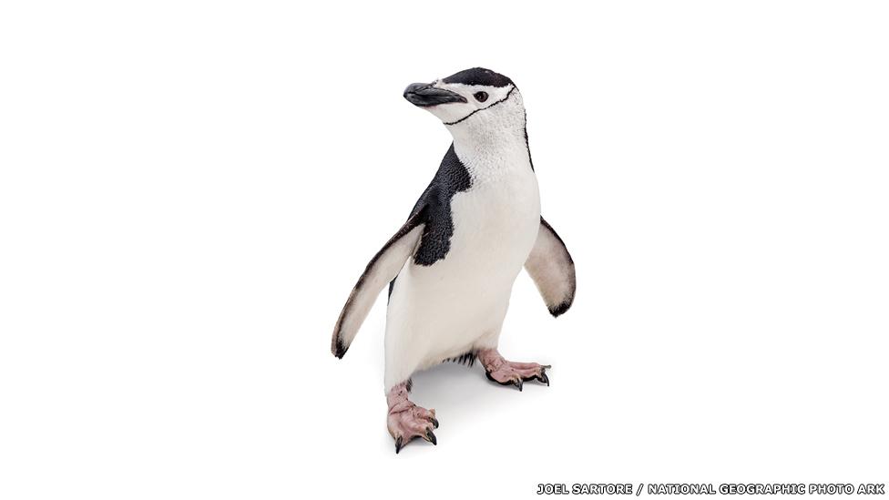 Pinguino barbijo - Acuario de Newport, Kentucky, Joel Sartore / National Geographic