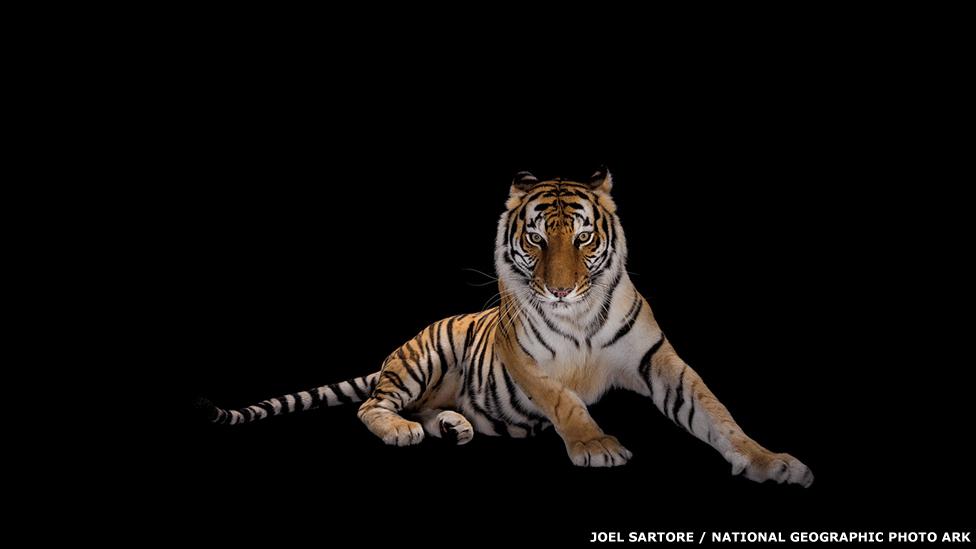 Tigre de Bengala - ALABAMA GULF COAST ZOO Joel Sartore / National Geographic