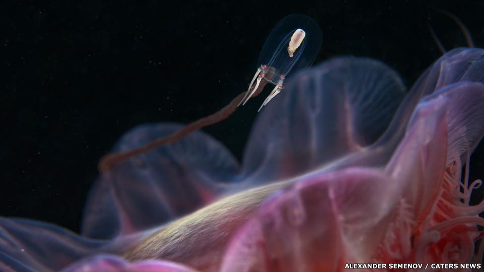 Medusa escifozoos