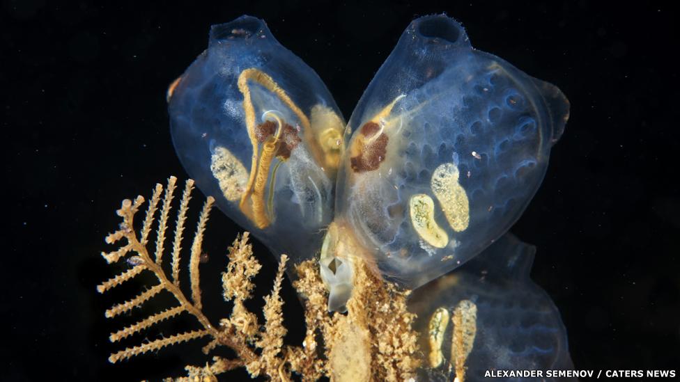 Ascidiacea - Molgula griffithsii