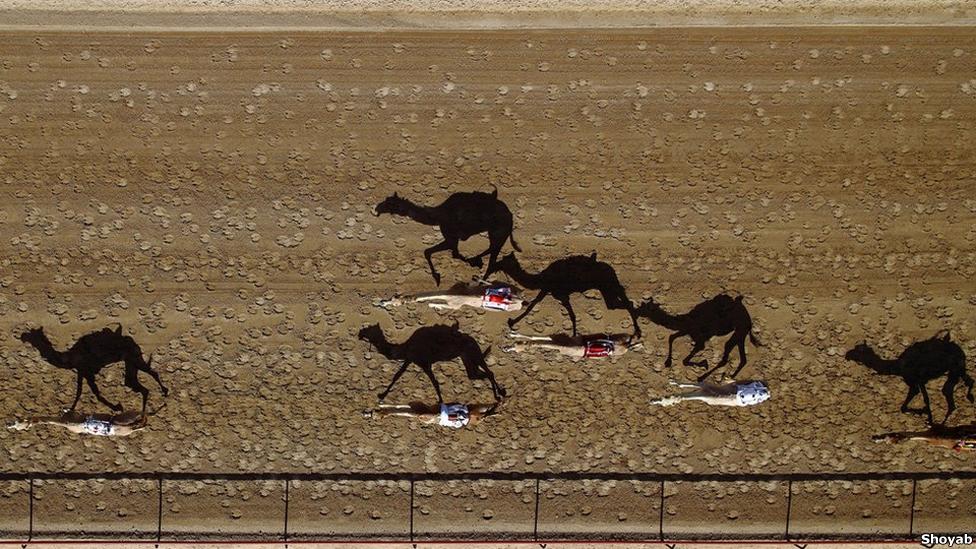 Carrera de camellos en Dubai