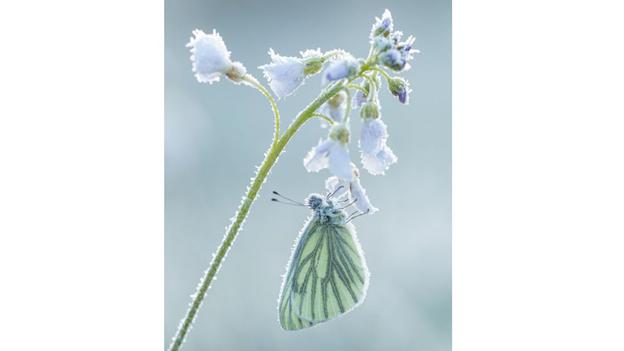 Una mariposa con cristales de hielo en sus alas