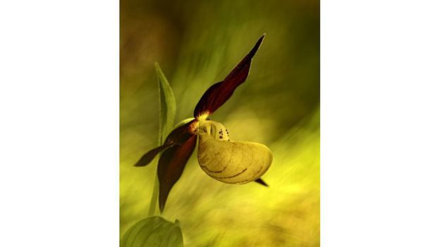 """Orquídea conocida como """"Zapatilla de la dama"""""""