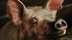 La Chine greffe l'oeil d'un cochon