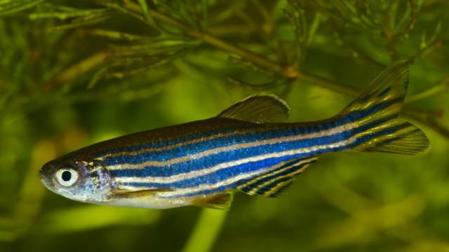 Белок аквариумной рыбки может помочь парализованным