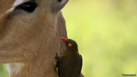 Antílope impala y picabueyes de pico rojo